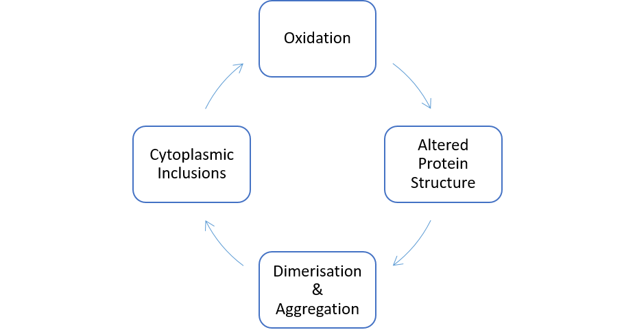 Figure 2. Displaying Correlation between Oxidation and Protein Dimerization, thus forming a Vicious Cycle
